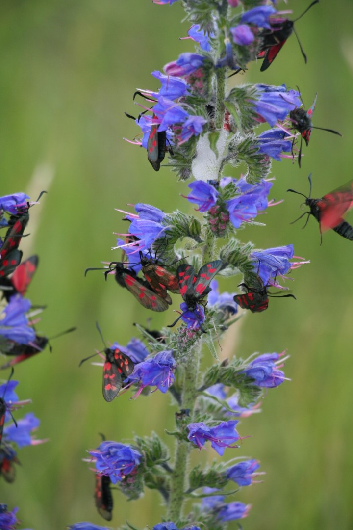 Viper's-bugloss crawling with Red and Black Spot Burnets.