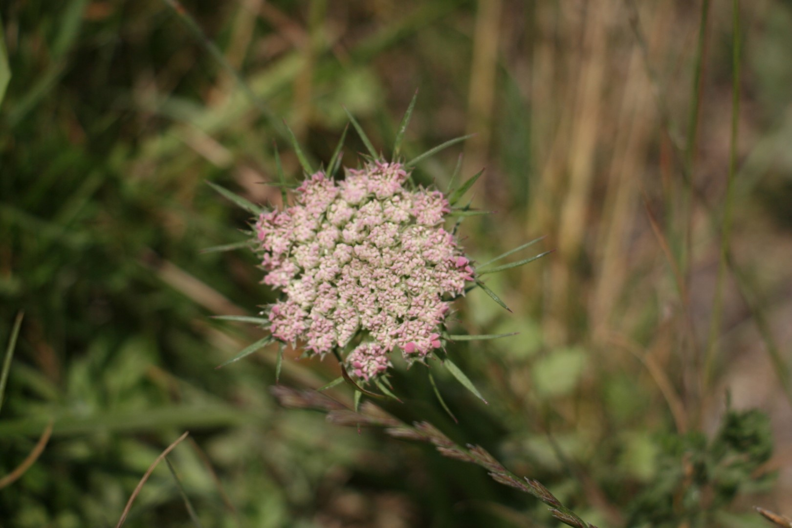 Sea Carrot flower - Daucus carota