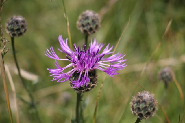 Greater knapweed flower - Centaurea scabiosa