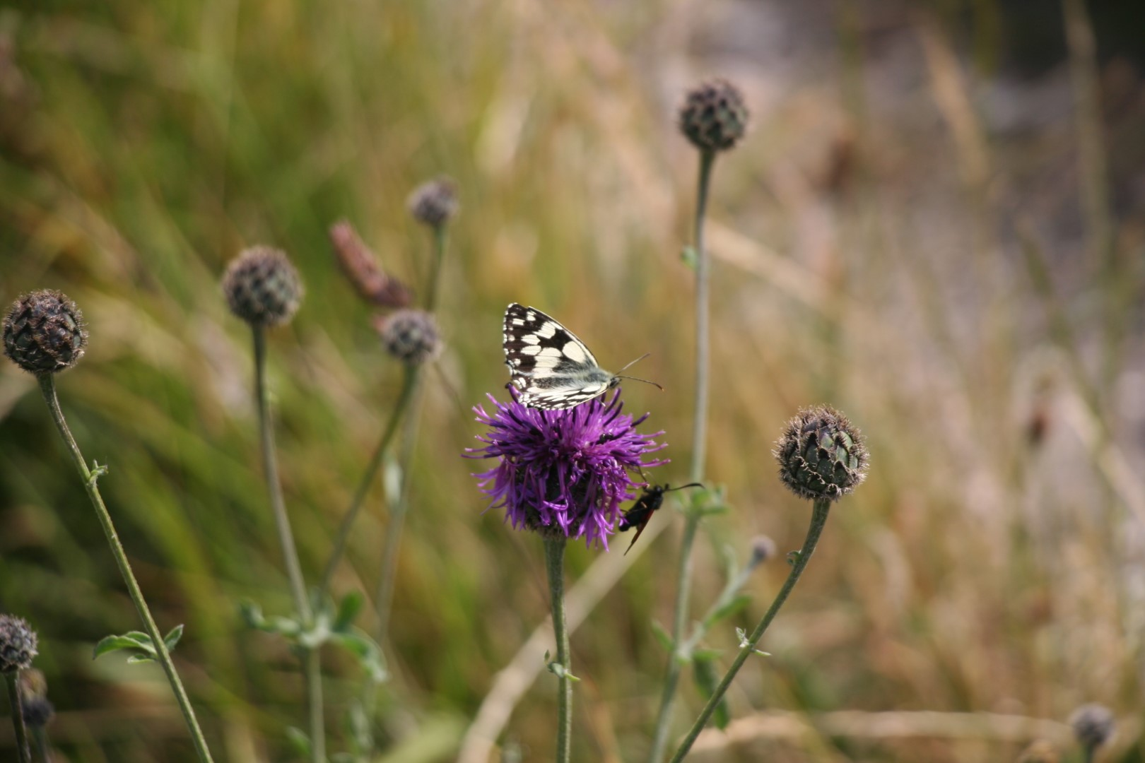 Greater knapweed - Centaurea scabiosa and Marbled White butterfly