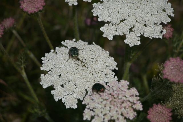 Wild carrot flowers and beetles - Daucus carota